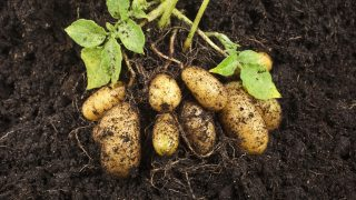 Potato field with tubers in soil dirt - soil surface background