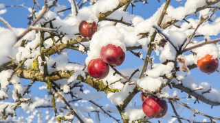 Apples in the tree branches remained to winter. Tree branches with apples are covered with snow.