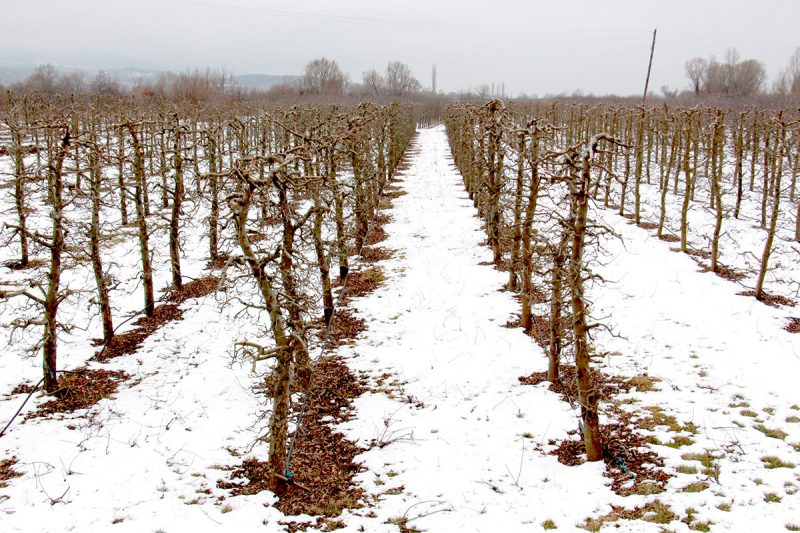 image of an apple orchard in winter