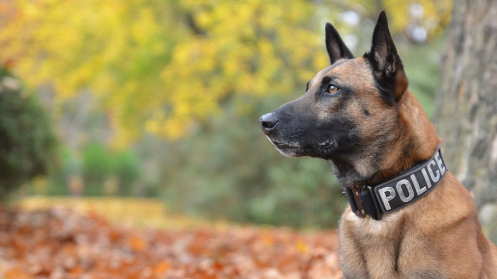 Police Dog with official collar against autumn background.