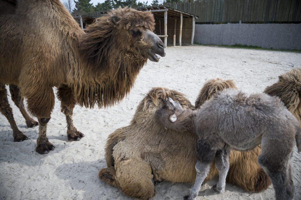 Veszprém, 2017. április 12. Tizenkét napos tevecsikó anyjával (j) a veszprémi állatkertben 2017. április 12-én. MTI Fotó: Bodnár Boglárka