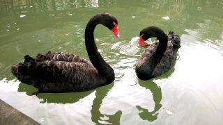 --FILE--Two black swans are pictured in a lake in Xujiahui Park in Shanghai, China, 5 December 2016.  Two hungry men are accused of nabbing a black swan from a Shanghai park, taking it back home, cooking it and eating it -- well half of it anyway. Recently, workers at Shanghai's Xujiahui Park noticed that one of the five black swans that call the park home had gone missing. While checking surveillance tape, police discovered footage from April 20th of two men snatching the swan and hurrying away. Later, police were able to track these two men down -- identified as local food delivery couriers surnamed Zhou and Wang. According to Kankanews, The duo told police that on the night in question they had gone to the park to do some fishing, but had been scared away by security patrols. However, as they were leaving the park, they happened upon a black swan that they decided would satisfy their hunger. On the way back home, the swan mysteriously died. Zhou said that he felt bad about the bird's death, but didn't want the animal's sacrifice to go to waste. At home, the pair plucked and boiled the swan, leaving it in the freezer overnight. The next day, they cooked it up together with some radishes, but didn't find the taste to their liking, eventually throwing half of it away. Zhou and Wang have been arrested by Shanghai police, charged with hunting and killing a species under second-class protection.