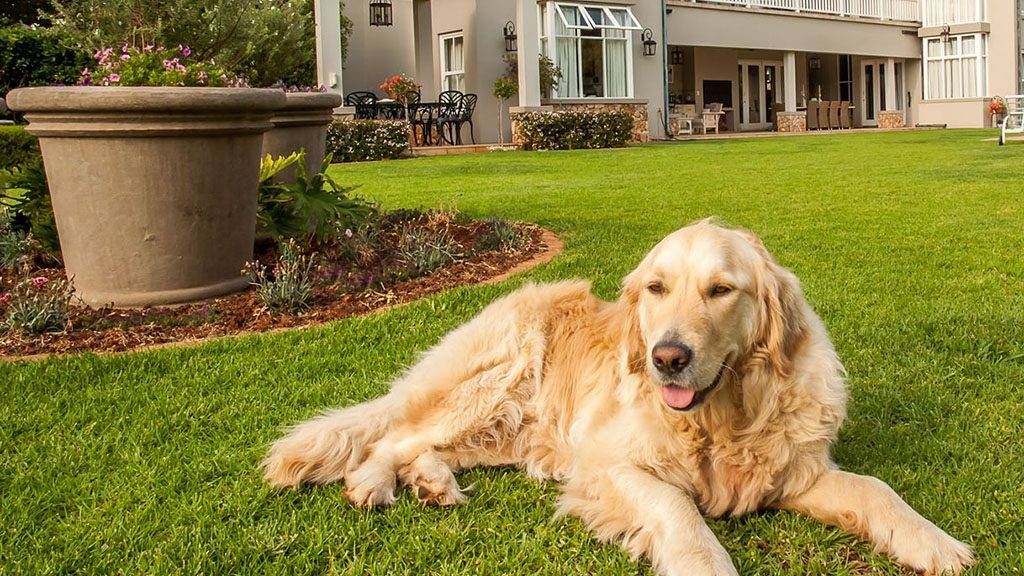 34137652 - golden retriever at home, lying relaxed in the beautiful big garden of the big mansion house where she lives.