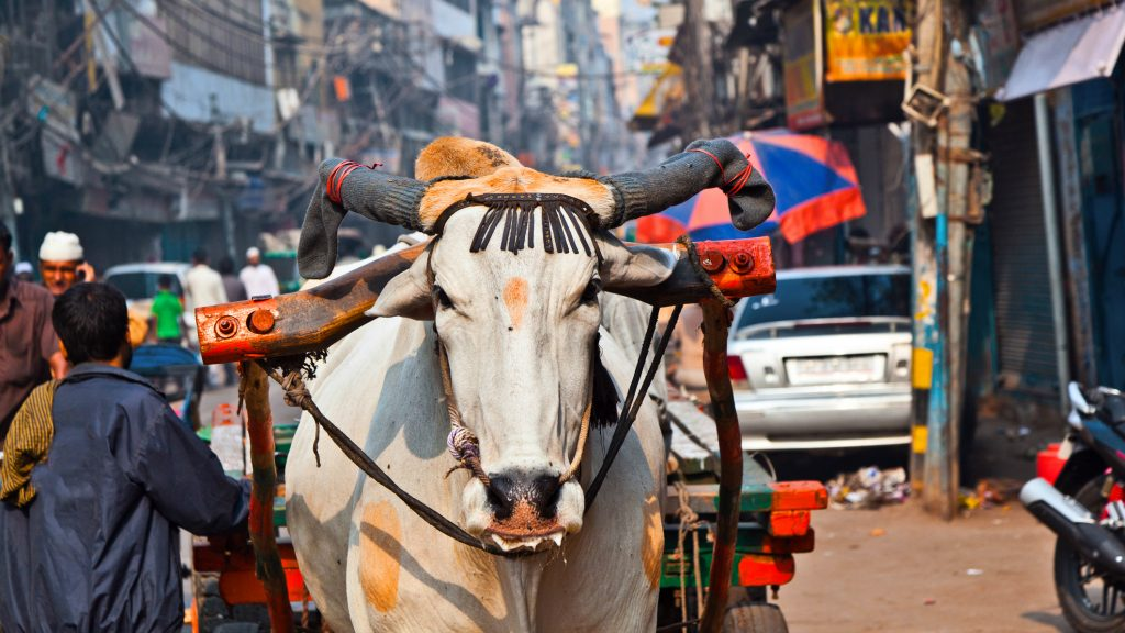 Ox cart transportation on early morning in Old Delhi, India