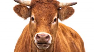Happy Cow Portrait. A Farm Animal Grown for Organic Meat on a White Background
