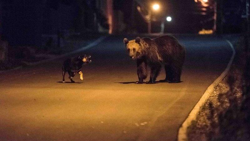 Medve Tusnádfürdő utcáin