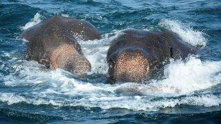 """In this handout photograph released by the Sri Lankan Navy on July 23, 2017, elephants spotted struggling to stay afloat in deep water swim as they are guided by Sri Lankan navel personnel back to shore a kilometre off the island's northeast coast. Two young elephants washed out to sea were saved from drowning July 23 by the Sri Lankan navy in the second such incident off the island in as many weeks. The navy said the pair of wild elephants were brought ashore after a """"mammoth effort"""" involving navy divers, ropes and a flotilla of boats to tow them back to shallow waters. RESTRICTED TO EDITORIAL USE - MANDATORY CREDIT """"AFP PHOTO / SRI LANKAN NAVY"""" - NO MARKETING NO ADVERTISING CAMPAIGNS - DISTRIBUTED AS A SERVICE TO CLIENTS - NO ARCHIVE - XGTY / AFP PHOTO / Sri Lankan Navy / STR / RESTRICTED TO EDITORIAL USE - MANDATORY CREDIT """"AFP PHOTO / SRI LANKAN NAVY"""" - NO MARKETING NO ADVERTISING CAMPAIGNS - DISTRIBUTED AS A SERVICE TO CLIENTS - NO ARCHIVE - XGTY"""