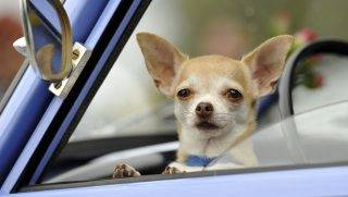 ZWICKAU, GERMANY - AUGUST 23: A Chihuahua dog waits inside a Trabant 601 car as fans of the East German Trabant car gather for their 7th annual get-together on August 23, 2014 in Zwickau, Germany. Hundreds of Trabant enthusiasts arrived to spend the weekend admiring each others cars, trading stories and enjoying activities. The Trabant, dinky and small by modern standards, was the iconic car produced in former communist East Germany and today has a strong cult following. (Photo by Matthias Rietschel/Getty Images)
