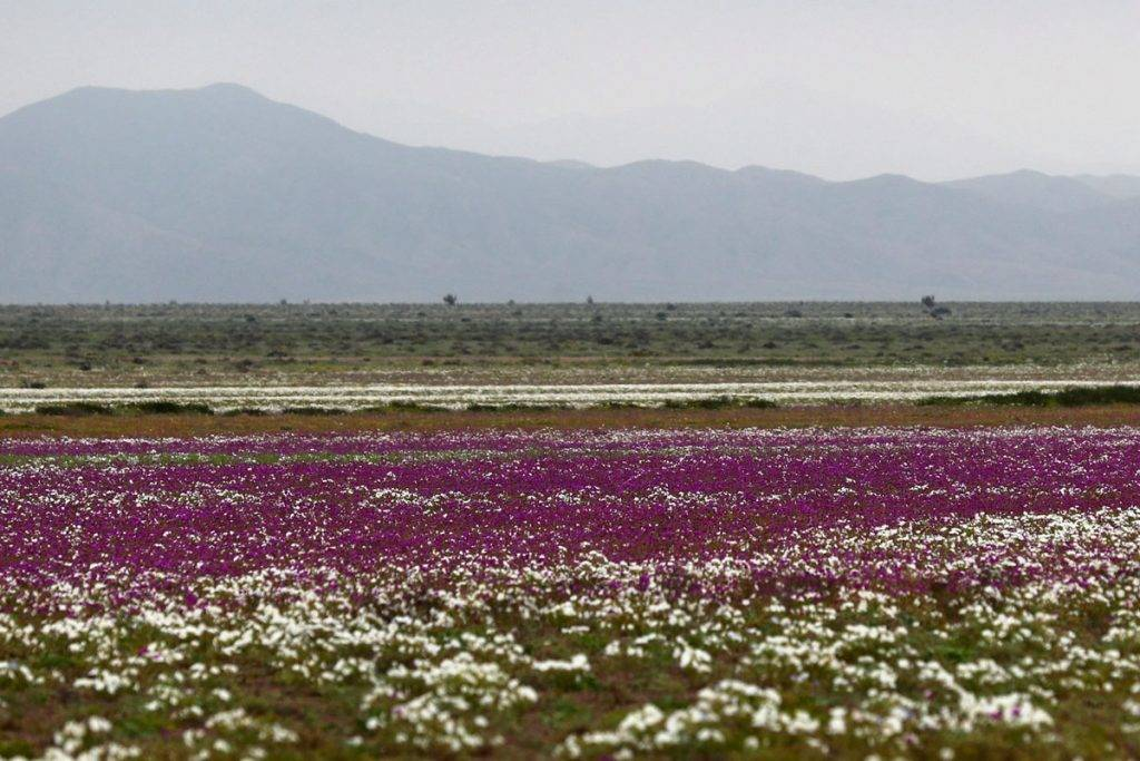 Atacama-sivatag, 2017. augusztus 23.A virágba borult Atacama-sivatag Chilében 2017. augusztus 22-én. A Föld egyik legszárazabb területén, ahol van, hogy évekig egy csepp eső nem esik, a téli hónapokban esett csapadékmennyiségnek köszönhetően színes virágok borították be az egész sivatagot. (MTI/EPA/Mario Ruiz)