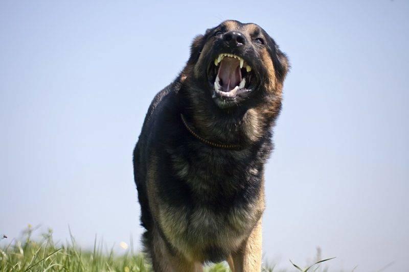 Aggressive Dog in attack