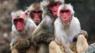Japanese monkeys each other stuck