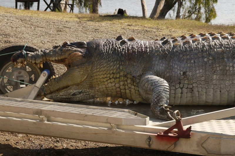 """A handout photo taken on September 21, 2017 and received on September 22 from the Queensland Police Service shows a 5.2-metre male crocodile that was found in a creek along the Fitzroy River near Rockhampton with a single gunshot wound to the head. There are concerns the shooting death of the crocodile will create a power vacuum in the local population — with warnings younger crocs will become increasingly aggressive as they fight for the position left vacant. / AFP PHOTO / STR /  ----EDITORS NOTE ----RESTRICTED TO EDITORIAL USE MANDATORY CREDIT """" AFP PHOTO / QUEENSLAND POLICE SERVICE"""" NO MARKETING NO ADVERTISING CAMPAIGNS - DISTRIBUTED AS A SERVICE TO CLIENTS - NO ARCHIVES"""