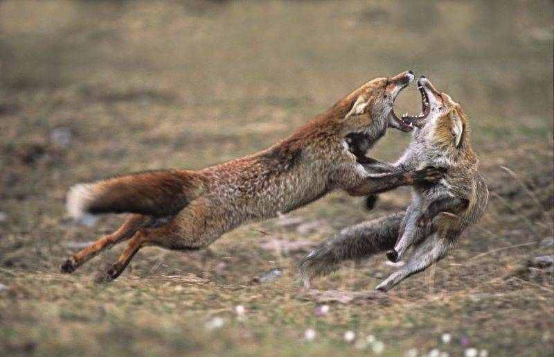 fight between Red foxes.    Biosphoto / Eric Dragesco
