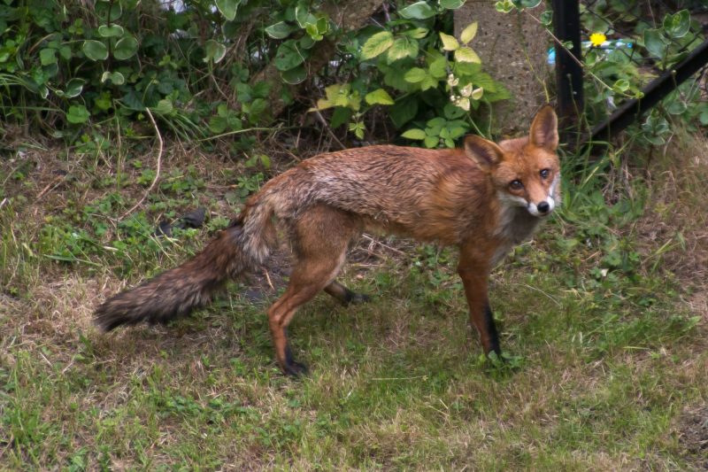 A fox in house's backyard in East London, on May 23, 2017. Prime Minister Theresa May, announced that she wants to reintroduce the foxhunting. (Photo by Alberto Pezzali/NurPhoto)