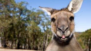 Close up of inquisitive Kangaroo poking his tongue out