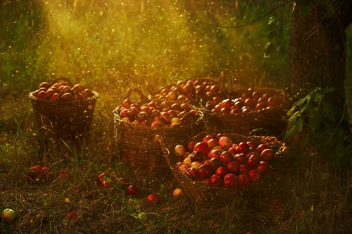 baskets full of red apple in sun rays