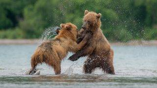 KAMCHATKA, RUSSIA - AUGUST 28 : Kamchatka brown bears are seen during a daily life at the Kurile Lake in Kamchatka Peninsula volcanic terrain, Russia, August 28, 2017. In summer period they feed on blueberries, crowberries, humpback salmon, and steelhead. In autumn, they eat nuts from nut-pines and mountain ash, and fish. Kamchatka brown bears are generally not dangerous to humans, and only 1% of encounters result in attack. The first Europeans who went to Kamchatka in the 19th century, although surprised by the number and size of bears there, observed that they were relatively harmless compared to their Siberian counterparts. Igor Ivanko  / Anadolu Agency