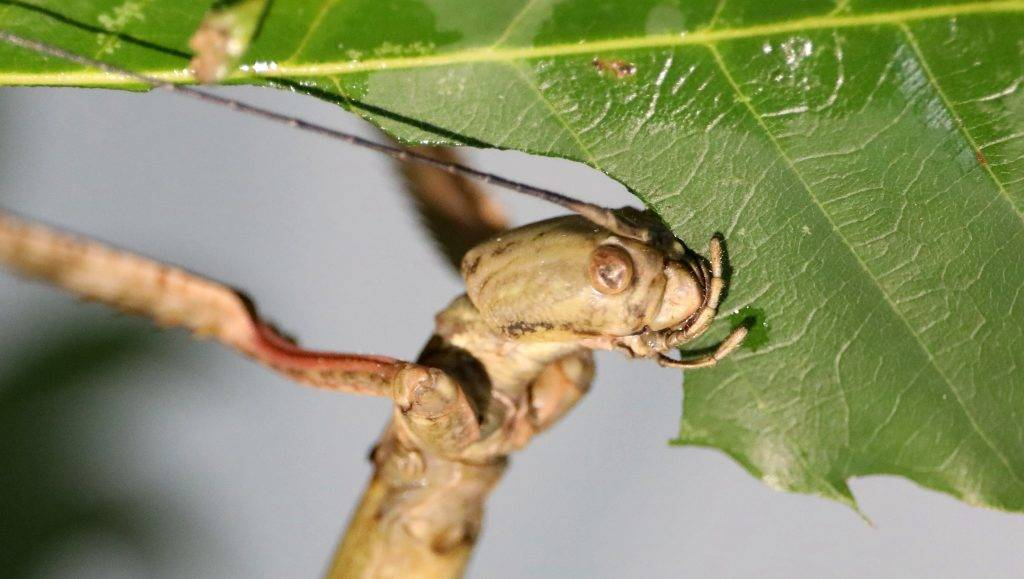 --FILE--The world's longest insect, a stick insect measuring 640 millimeters, which belongs to phryganistria chinensis, eats a piece of leaf in Chengdu city, southwest China's Sichuan province, 25 July 2017.  The world's longest insect was found in Chengdu city, southwest China's Sichuan province. The stick insect, which belongs to phryganistria chinensis, measures 640 millimeters with legs fully outstretched. The insect was bred at the Insect Museum of West China (IMWC) and set a record in the Guinness World Record.
