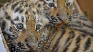Debrecen, 2017. október 10. A Debreceni Állat- és Növénykert augusztus végén született szibériaitigris-kölykei (Panthera tigris altaica) bemutatójukon 2017. október 10-én. MTI Fotó: Czeglédi Zsolt