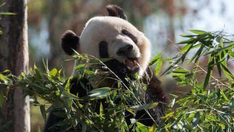 A panda is seen as US First Lady Melania Trump visits the Beijing Zoo in Beijing on November 10, 2017. / AFP PHOTO / NICOLAS ASFOURI