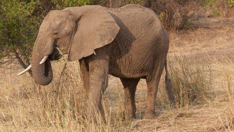 African elephant eating grass - South Luangwa  Zambia.    Biosphoto / Mark Boulton