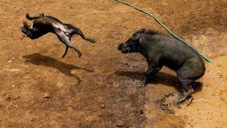 """A dog and wild boar fight during a contest, known locally as 'adu bagong' (boar fighting), in Cikawao village of Majalaya, West Java province, Indonesia, September 24, 2017. REUTERS/Beawiharta         SEARCH """"BOAR FIGHT"""" FOR THIS STORY. SEARCH """"WIDER IMAGE"""" FOR ALL STORIES."""