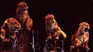 Four lionesses performing tricks in circus arena