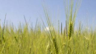 Selective focus closeup detail of green wheat, sunny day with blue sky