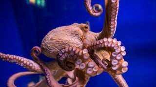 Common octopus in large sea water aquarium