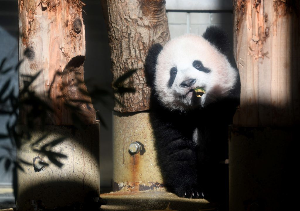 Baby panda Xiang Xiang plays at its enclosure at Ueno Zoo in Tokyo on December 18, 2017. The baby panda born six months ago in Japan made its debut before the cameras on December 18, a day before a doting public gets an eagerly-awaited glimpse of the cuddly animal. / AFP PHOTO / Toshifumi KITAMURA