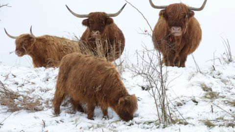 Scottish highland cattle standing in a field covered with snow near Adelzhausen, Germany, 04 December 2017. The animals, with their scraggy furs, are barely affected by the icy temperatures. Photo: Stefan Puchner/dpa
