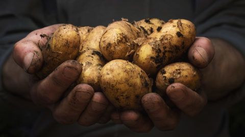 Close up of cupped male hands holding pile of potatoes with copy space