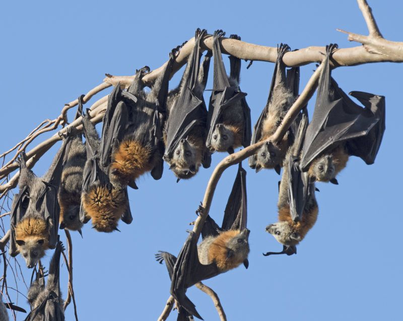 fruit bats or  little red flying fox in outback, Queensland, Australia.
