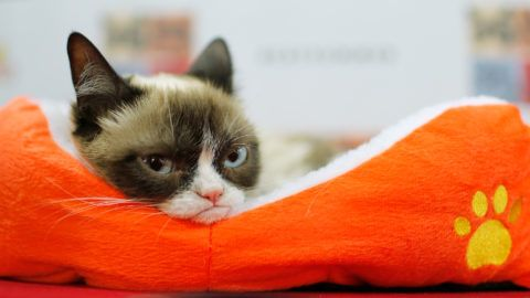 """(FILES): This file photo taken on July 15, 2014 shows Grumpy Cat attending the """"Cat Summer"""" video launch party at Bleecker Street Records in New York City.   Grumpy Cat, whose permanent scowl went viral on the Internet in 2012, has been awarded $710,000 in a copyright case against Grenade, a US coffee company, over useage of the cat's image.    / AFP PHOTO / GETTY IMAGES NORTH AMERICA / Jemal Countess"""
