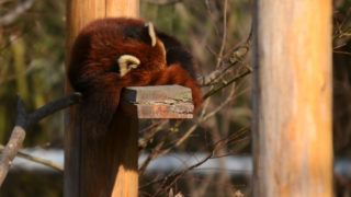 A red panda sleeps at a zoo in Yangzhou in China's eastern Jiangsu province on January 15, 2018. AFP CHINA XTRA