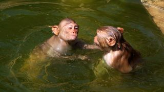 Macaques cool off itself to beat the scorching heat at Galta ji Temple in Jaipur,Rajasthan , India on April 17, 2017. Heat wave conditions prevailed in Rajasthan as day temperatures hovered between 41 and 47 degrees Celsius at various places of states .Galta Ji temple is an ancient Hindu holy shrine pilgrimage with many holy natural water pond (Kund). The temple complex of Ramgopalji temple is colloquially known as Monkey temple (Galwar Bagh) in travel literature, due to the large tribe of monkeys who live here. (Photo By Vishal Bhatnagar/NurPhoto) (Photo by Vishal Bhatnagar/NurPhoto)