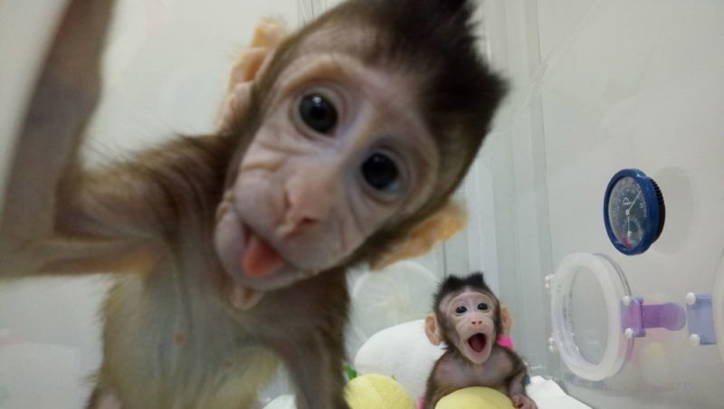 (180125) -- BEIJING, Jan. 25, 2018 (Xinhua) -- File photo provided by the Chinese Academy of Sciences shows two cloned macaques named Zhong Zhong and Hua Hua at the non-human-primate research facility under the Chinese Academy of Sciences. China on Thursday announced it successfully cloned world's first macaques from somatic cells by method that made Dolly.  (Xinhua) (dhf)