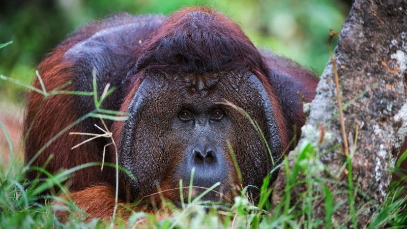 The male of the orangutan has a rest under a tree and observes of tourists.