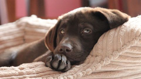 Chocolate Labrador puppy relaxing on pillow in the sun.