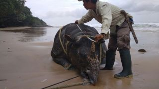 """This handout picture taken on April 26, 2018 and released by Indonesia Environment Ministry shows a wildlife officer inspects the body of the male rhino found inside West Java's Ujung Kulon national park, the creature's last remaining habitat.  A Javan rhino has died in Indonesia, the environment ministry said, bringing the critically endangered mammals closer to extinction with just 60 believed to be still living in the wild. / AFP PHOTO / Indonesia Environment Ministry / Indonesia Environment Ministry / ----EDITORS NOTE --- RESTRICTED TO EDITORIAL USE - MANDATORY CREDIT """"AFP PHOTO / Indonesia Environment Ministry"""" - NO MARKETING - NO ADVERTISING CAMPAIGNS - DISTRIBUTED AS A SERVICE TO CLIENTS-"""