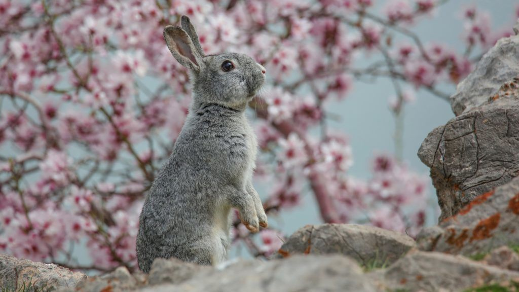 VAN, TURKEY - MARCH 29: A rabbit is seen in front of the almond tree blossoms at Akdamar island in Lake Van during spring time in Turkey's Van province on March 29, 2018. Dozens of animal species that live in the island and almond tree blossoms become a tourist attractions as spring comes to Van district of Turkey. Ali Ihsan Ozturk / Anadolu Agency
