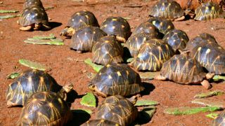 family of wild tortoises in a park in Madagascar