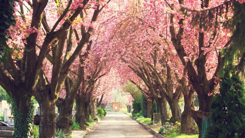 Road with blooming trees in spring