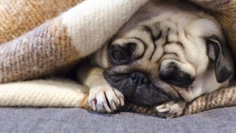cute small dog breed pug sleeping on the sofa wrapped in blanket