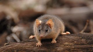 Male yellow-footed antechinus, Antechinus flavipes, in red gum forest, Victoria, Australia.