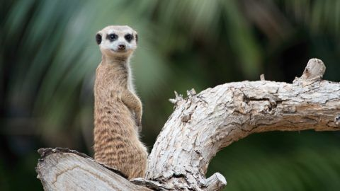 Isolated Suricata Suricatta Meerkat looking up while standing on tree with green background