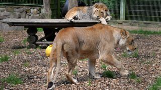 Lion Malor (l) lies down while his mother Lira walks past in the animal enclosure at Eifel zoo in Luenebach,Germany, 28 June 2016. Malor was rejected by his mother when he was a baby and weighed only 700 gramms. He was bottle-fed by zoo director Isabelle Wallpott. Now he was re-socialized with his mother. Photo: Harald Tittel/dpa