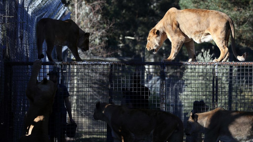 Animal caretakers feed African lions at Orana Wildlife Park in Christchurch, New Zealand on May 18, 2018. New Zealand's only open-range zoo opened its doors on September 25, 1976, showcasing 28 animals from six species. Visitors can now see more than 400 animals, spanning 70 species. (Photo by Sanka Vidanagama/NurPhoto)