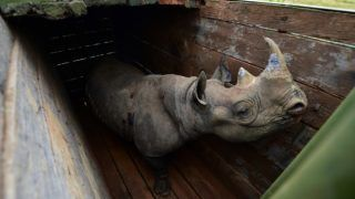 A female black rhinoceros one of three individuals about to the translocated, stands in a transport crate, in Nairobi National Park, on June 26, 2018.  Kenya Wildlife Services proceeded to relocate some rhinoceroses on June 26, 2018 from Nairobi National Park to Tsavo-East National Park in an effort to repopulate habitat around the country which rhinoceros population had been decimated by poaching and harsh climatic changes. / AFP PHOTO / TONY KARUMBA