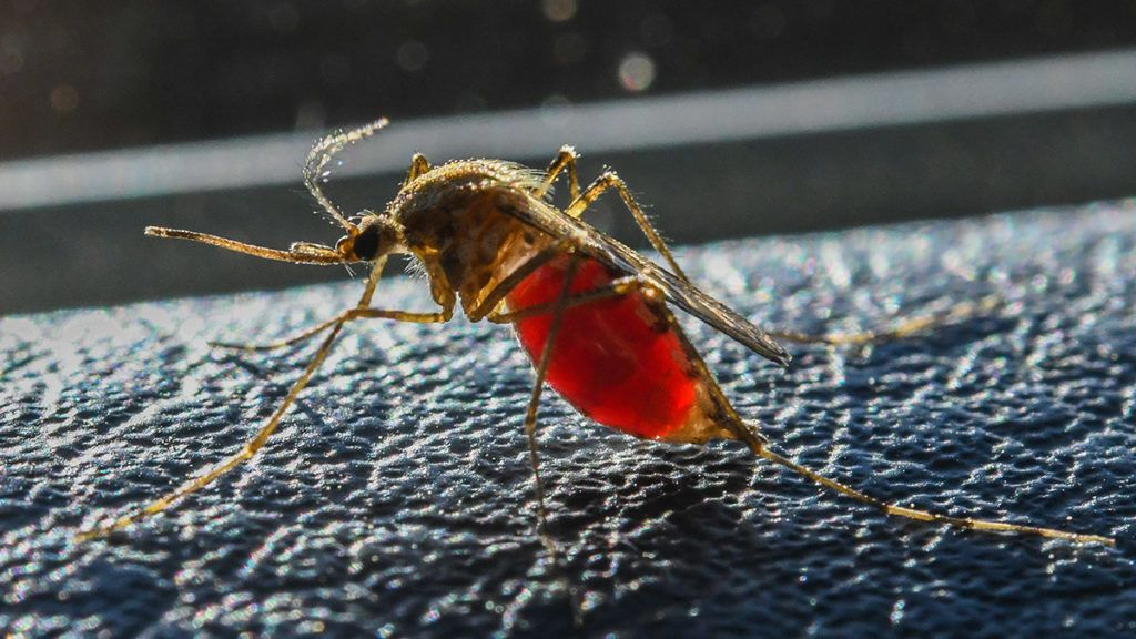 29 May 2018, Germany, Beeskow: A mosquito is full of blood. Photo: Patrick Pleul/dpa-Zentralbild/ZB